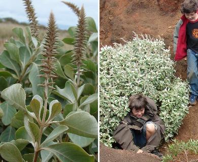 Achyranthes splendens