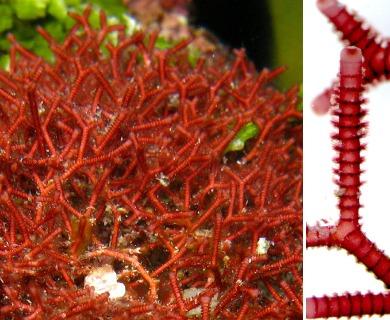 Actinotrichia fragilis