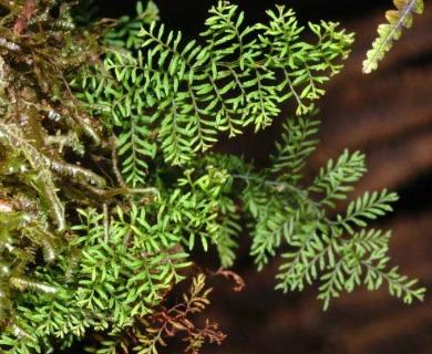 Adenophorus abietinus