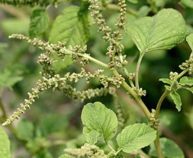 Amaranthus viridis