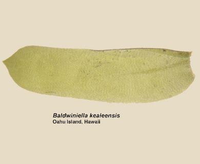 Baldwiniella kealeensis