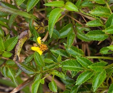Bidens macrocarpa