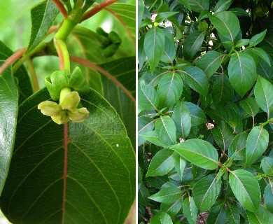 Bobea sandwicensis