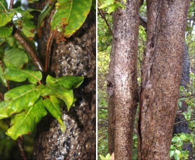 Bobea timonioides