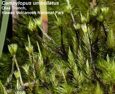 Campylopus umbellatus