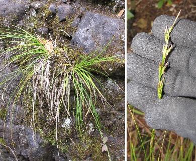 Carex meyenii