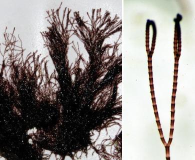 Centroceras clavulatum