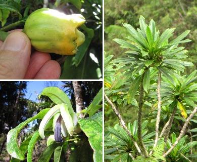 Clermontia arborescens