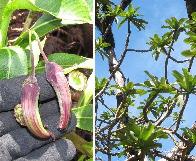 Clermontia grandiflora