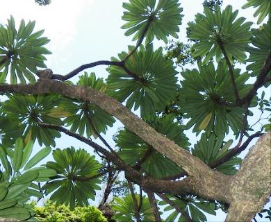 Clermontia persicifolia