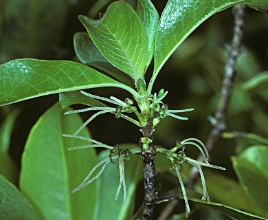 Coprosma waimeae