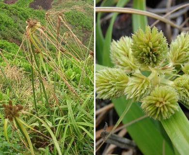 Cyperus phleoides