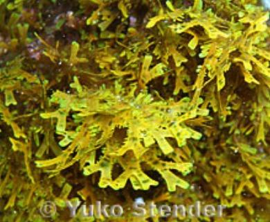 Dictyota sandvicensis