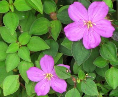 Dissotis rotundifolia