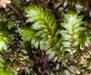 Distichophyllum freycinetii