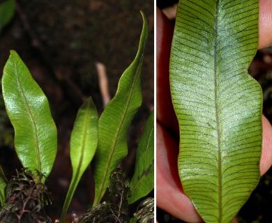 Elaphoglossum pellucidum