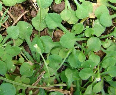 Erigeron bellioides