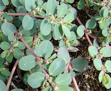 Euphorbia prostrata