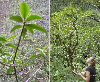 Euphorbia remyi