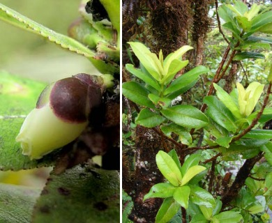Eurya sandwicensis