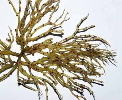 Gracilaria parvispora