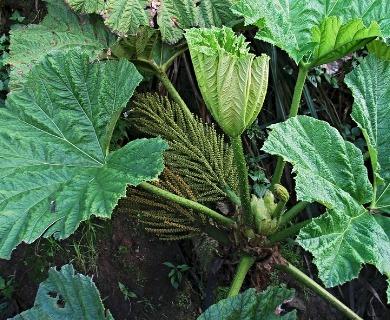 Gunnera petaloidea