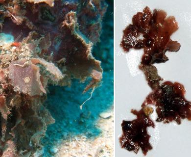 Haloplegma duperreyi