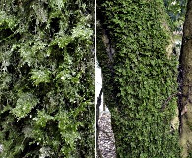 Homaliodendron flabellatum