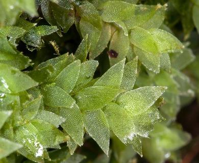 Hookeria acutifolia
