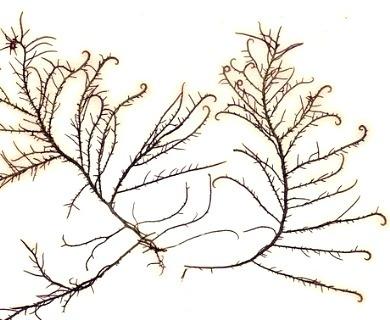 Hypnea musciformis