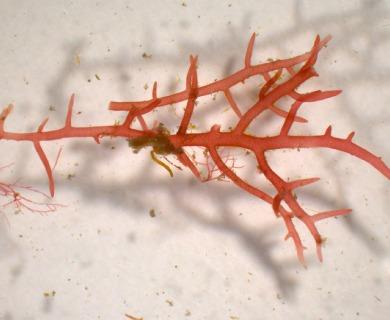 Hypnea spinella