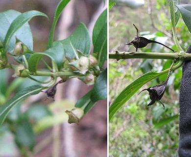 Kadua acuminata