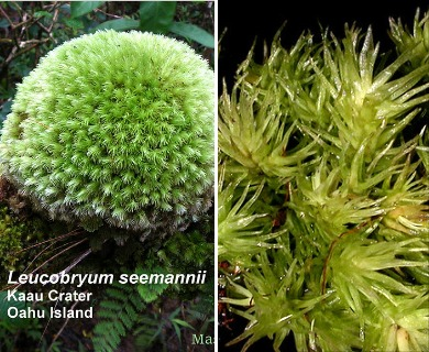 Leucobryum seemannii