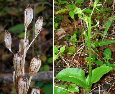 Liparis hawaiensis