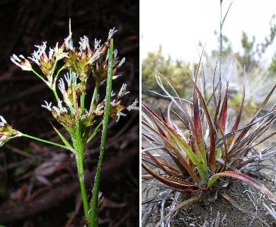 Luzula hawaiiensis