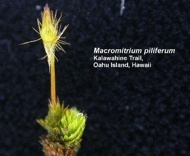 Macromitrium piliferum