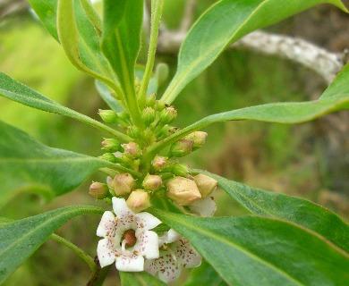 Myoporum sandwicense