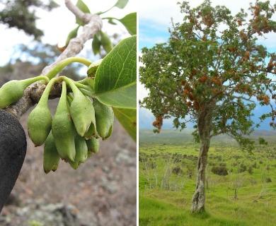 Nothocestrum latifolium