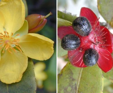 Ochna thomasiana