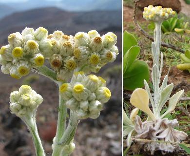Pseudognaphalium sandwicensium