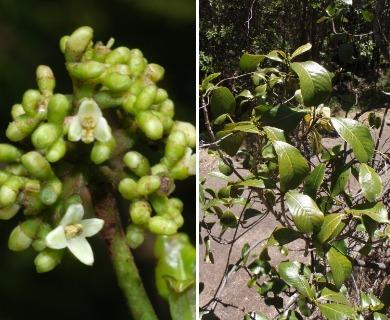 Psychotria hawaiiensis
