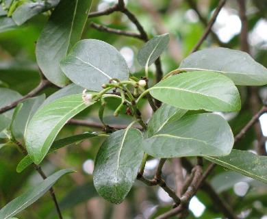 Psychotria kaduana