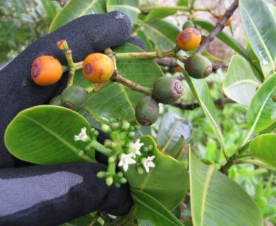 Psychotria mariniana