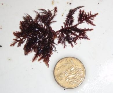 Pterocladiella capillacea