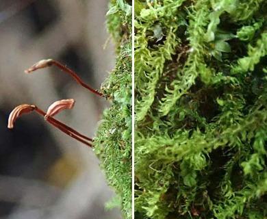 Racopilum cuspidigerum