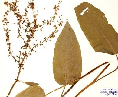 Rumex albescens