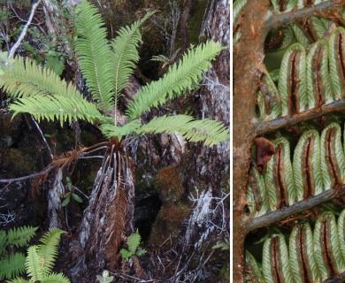 Sadleria pallida