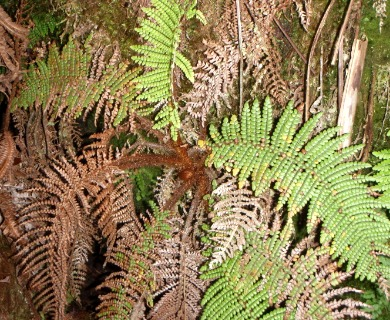 Sadleria squarrosa