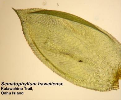 Sematophyllum hawaiiense