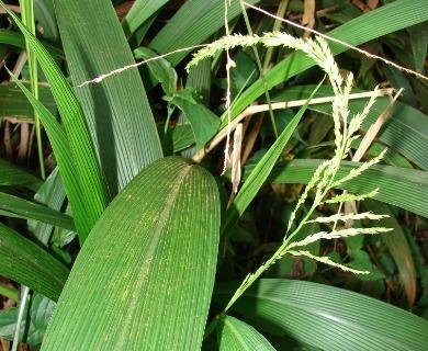 Setaria palmifolia